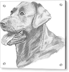 Labrador Dog Drawing Acrylic Print by Catherine Roberts
