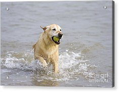 Labrador-mix Retrieving Ball Acrylic Print