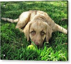 Labrador Puppy Acrylic Print by Larry Marshall
