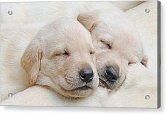 Labrador Retriever Puppies Sleeping  Acrylic Print by Jennie Marie Schell