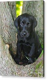 Labrador Retriever Puppy Acrylic Print by Catherine Reusch Daley