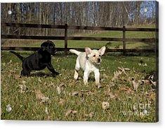 Labrador Retriever Pups Acrylic Print by Linda Freshwaters Arndt