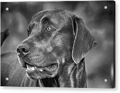 Labrador Sweetie Acrylic Print
