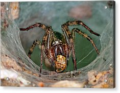 Labyrinth Spider With Prey Acrylic Print by Dr. John Brackenbury/science Photo Library