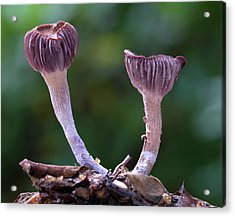 Laccaria Amethystea Fungi Acrylic Print