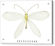 Lacewing Acrylic Print by Natural History Museum, London