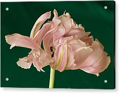 Lacey Tulip Acrylic Print by Patricia Schaefer