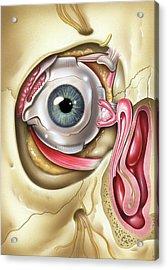 Lacrimal Apparatus Of The Eye Acrylic Print by John Bavosi