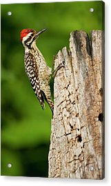 Ladder-backed Woodpecker (picoides Acrylic Print by Larry Ditto