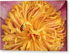 Lady Bug Acrylic Print by Darren Fisher