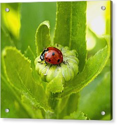 Lady Bug In The Garden Acrylic Print