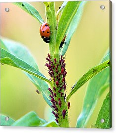Lady Bug Keeping Watch Over Her Favorite Dinner Acrylic Print