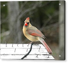 Lady Cardinal Acrylic Print by Cindy Croal