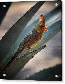 Lady Cardinal  Acrylic Print by Saija  Lehtonen