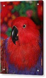 Lady In Red - Portrait Of Eclectus Parrot Victoria Acrylic Print