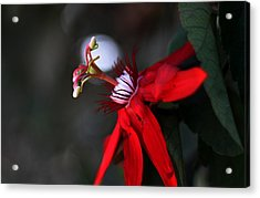 Acrylic Print featuring the photograph Lady Margaret - Passionflower  by Ramabhadran Thirupattur