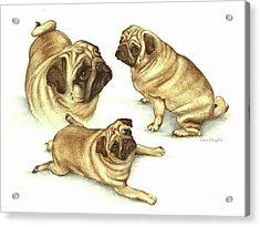 Lady Marmalade Of Lydiard Pug Acrylic Print