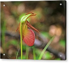 Lady Slippers At Moore State Park 4 Acrylic Print