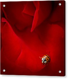 Acrylic Print featuring the photograph Ladybird In Rose by Peta Thames