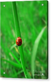 Ladybird Acrylic Print by Jelena Jovanovic
