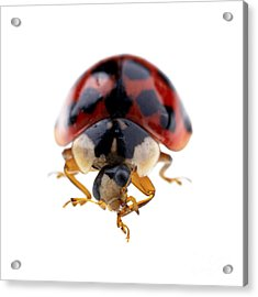Ladybird Macro Acrylic Print by Jane Rix