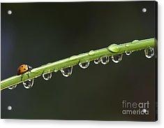 Ladybird On Grass Stem Acrylic Print by Tim Gainey