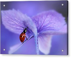 Ladybird On Purple Hydrangea Acrylic Print by Ellen Van Deelen