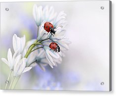 Ladybirds Acrylic Print