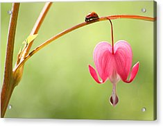 Ladybug And Bleeding Heart Flower Acrylic Print