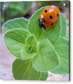 Acrylic Print featuring the photograph Ladybug And Oregano by Robert ONeil