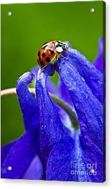 Acrylic Print featuring the photograph Ladybug by Carrie Cranwill