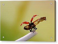 Ladybug Acrylic Print