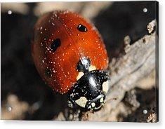 Ladybug Acrylic Print by Lorri Crossno