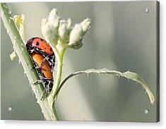 Ladybug Love Acrylic Print by Shoal Hollingsworth