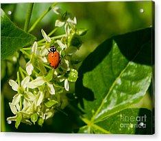 Ladybug On Flowers Acrylic Print