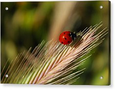Acrylic Print featuring the photograph Ladybug by Richard Stephen
