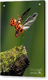 Ladybug Taking Off Acrylic Print by Scott Linstead