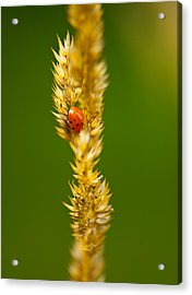 Ladybug Tucked In Acrylic Print by Sarah Crites
