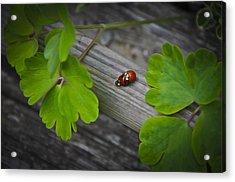 Ladybugs Mating Acrylic Print by Aged Pixel