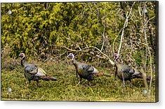 Lake Michigan Wild Turkey Acrylic Print