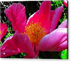 Lake Tahoe Peony Acrylic Print by Wendy Clem