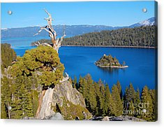 Lake Tahoe Reaching Tree Acrylic Print