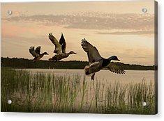 Lake Tarpon Ducks Acrylic Print by IM Spadecaller
