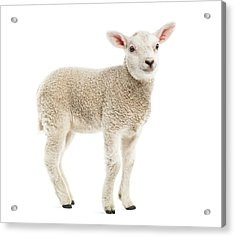 Lamb 8 Weeks Old Isolated On White Acrylic Print by Life On White