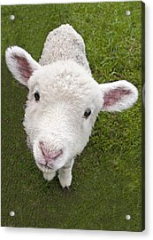 Acrylic Print featuring the photograph Lamb by Dennis Cox WorldViews
