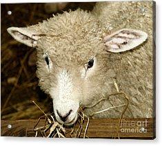 Lamb Acrylic Print by Raymond Earley