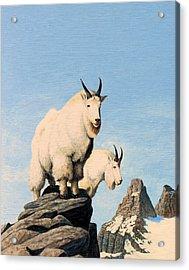 Lamoille Goats Acrylic Print