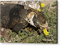 Land Iguana Eating Acrylic Print by William H. Mullins