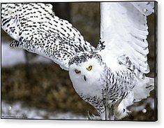 Landing Of The Snowy Owl Where Are You Harry Potter Acrylic Print by LeeAnn McLaneGoetz McLaneGoetzStudioLLCcom