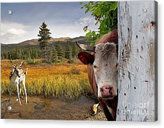 Landscape - Animals - Peek A Boo Cow Acrylic Print by Liane Wright